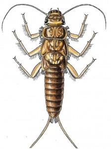 common stonefly