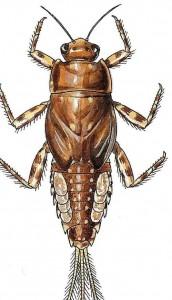 spiny crawler mayfly