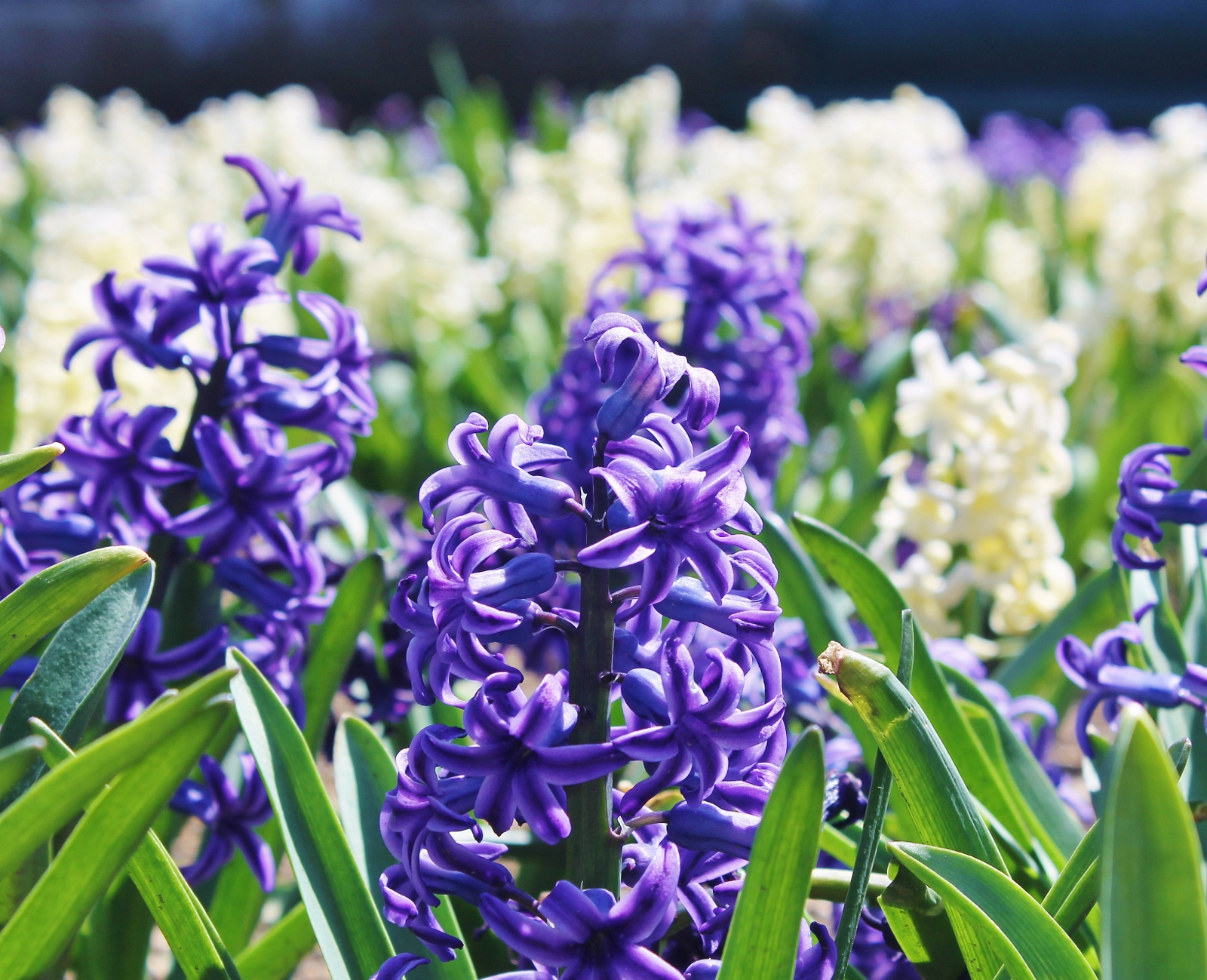 Hyacinths!
