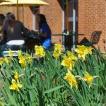 Daffodils in front of McKin's!