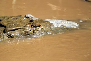 One of the crocodiles we came across in La Taracola River