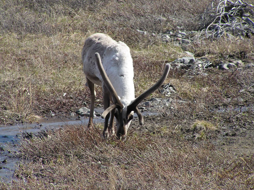 Caribou in the Brooks Range