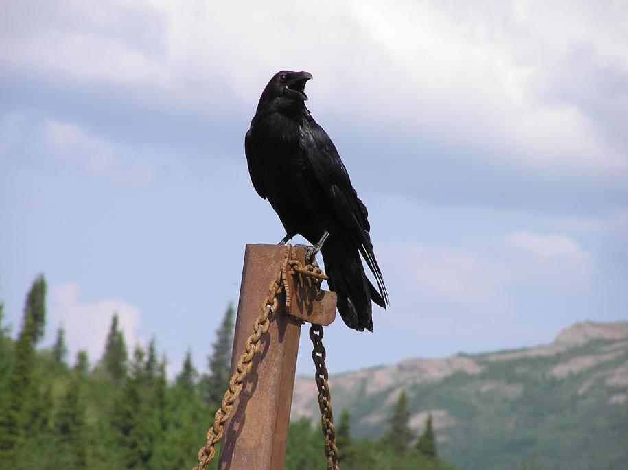 Raven - the Alaskan trickster