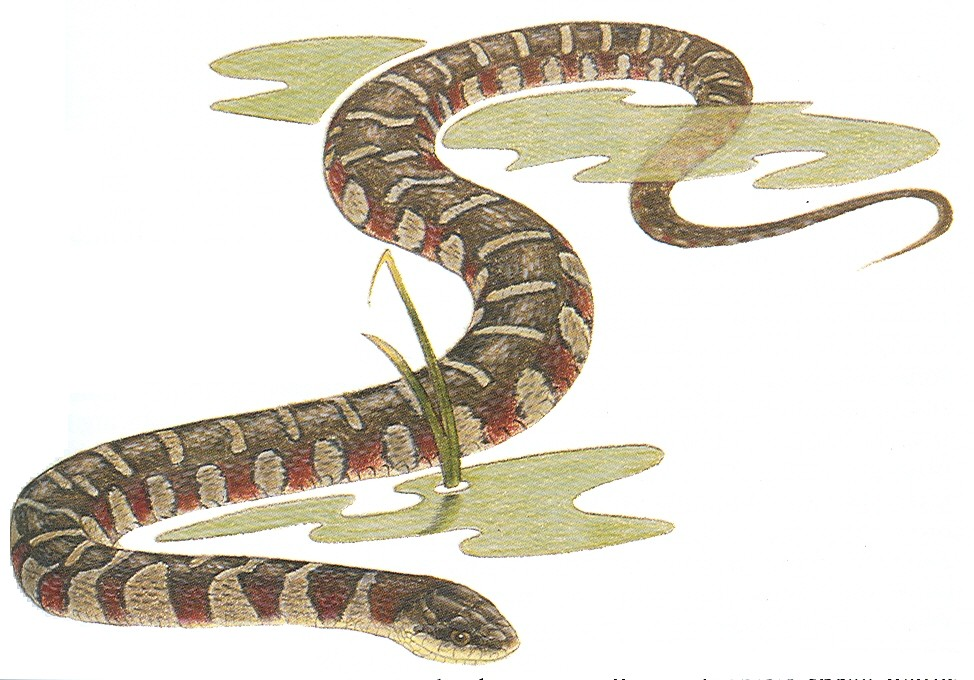 Snakes Identification Game « Creek Connections | Allegheny